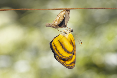Common lascar butterfly ( Pantoporia hordonia ) emerging from chrysalis and hanging on twig with green background