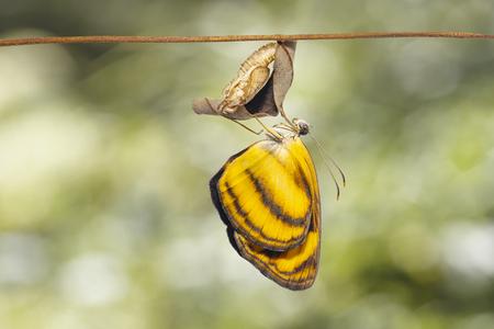 Gemeenschappelijke lascarvlinder (Pantoporia hordonia) die uit de pop komt en op een takje hangt met een groene achtergrond