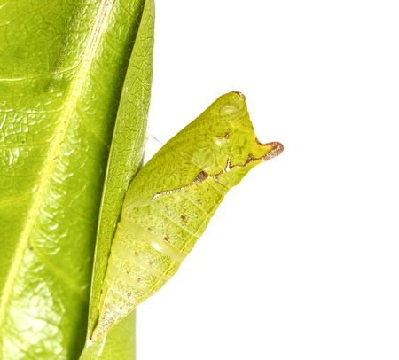 Chrysalis of Tailed Jay butterfly ( Graphium agamemnon ) hanging on green leaf