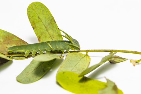 Caterpillar of common nawab butterfly ( Polyura athamas ) in 5th stage walking on host plant leaf