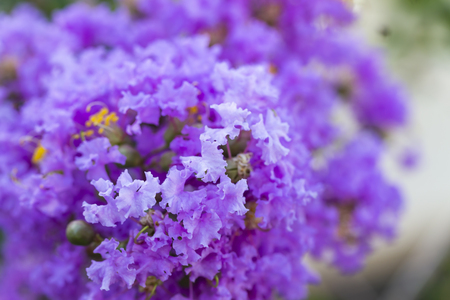Close up purple crape myrtle flower ( lagerstroemia )  with yellow pollen