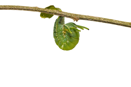 Isolated latest instar caterpillar of common nawab butterfly ( Polyura athamas ) hanging on twig with clipping path Stock Photo