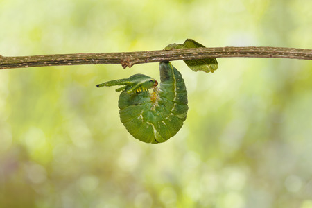 Latest instar caterpillar of common nawab butterfly ( Polyura athamas ) hanging on twig , dragon head Stock Photo
