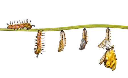 Isolated transformation of yellow coster butterfly ( Acraea issoria ) from caterpillar and chrysalis hanging on twig , growth , metamorphosis , transformation Imagens
