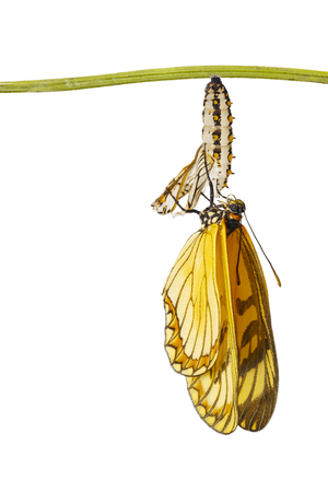 Isolated emerged yellow coster butterfly ( Acraea issoria ) and mature chrysalis hanging on twig   , growth , metamorphosis Imagens
