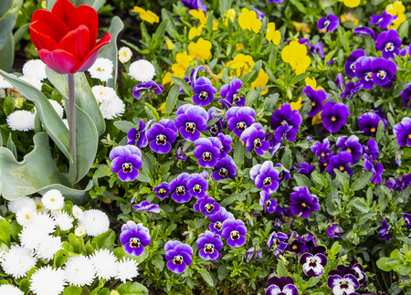 Beautiful magenta pansy flowers are blommong in the garden