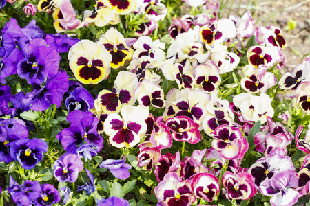 Colorful pansy flowers are blommong in the garden
