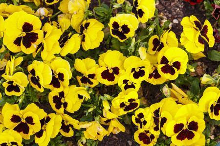 Beautiful yellow magenta pansy flowers are blommong in the garden