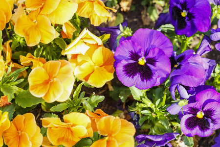 Beautiful colorful pansy flowers are blommong in the garden 写真素材