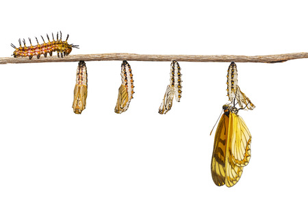 Isolated transformation of yellow coster butterfly ( Acraea issoria ) from caterpillar and chrysalis hanging on twig , growth , metamorphosis , transformation Stock Photo