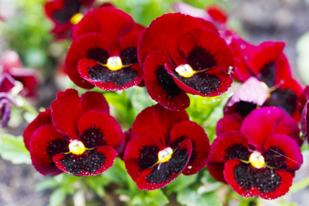 Beautiful red pansy flowers are blommong in the garden Stock Photo