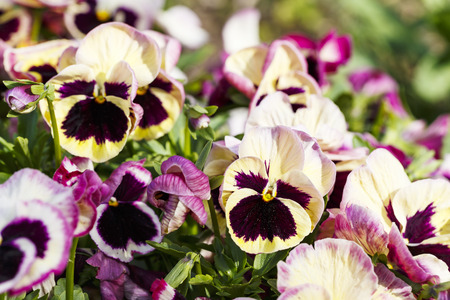 Beautiful colorful magenta pansy flowers are blommong in the garden