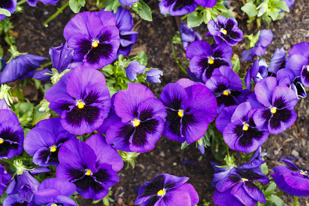 Beautiful purple pansy flowers are blommong in the garden