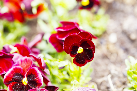 Beautiful red pansy flowers are blommong in the garden 写真素材