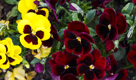 Beautiful yellow red  magenta pansy flowers are blommong in the garden