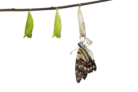 Isolated emerged Common jay butterfly ( Graphium doson)  with pupa and shell hanging on twig
