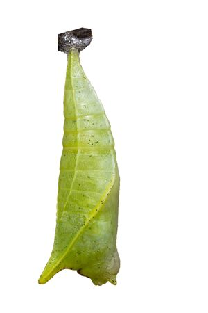 Isoalted Chrysalis of Common jay butterfly ( Graphium doson) on white Archivio Fotografico