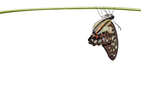 Isolated emerged Common jay butterfly ( Graphium doson)  hanging on twig  with clipping path , secure , growth , transformation Imagens