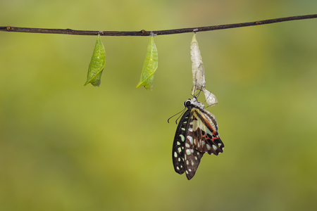 Emerged Common jay butterfly ( Graphium doson) with pupa and shell hanging on twig with clipping path, secure , growth , transformation
