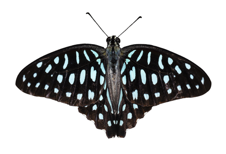 Isolated dorsal view of Common jay butterfly ( Graphium doson)  with clipping path, secure , growth , transformation Stock Photo
