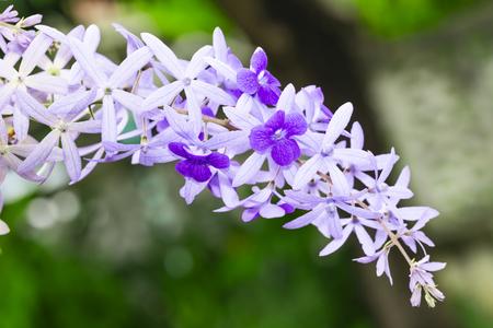 Purple sandpaper vine flower with theirs tree in garden , Petrea volubilis