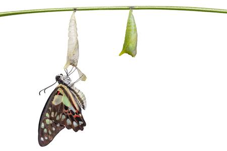 Geïsoleerde ontstaan transformatie van gewone gaai vlinder (Graphium doson) met pop shell opknoping op takje met uitknippad, groei, transformatie Stockfoto