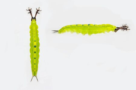 Close up mature stage of caterpillar of siamese black prince butterfly ( Rohana parisatis )  on white background before transform to chrysalis Reklamní fotografie
