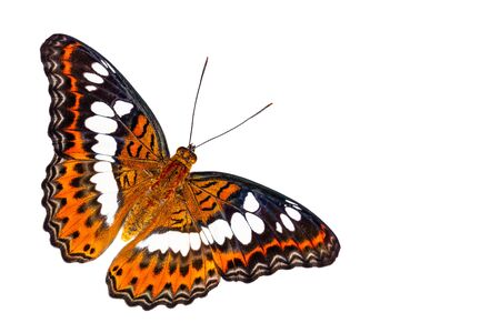 Isolated dorsal view of Commander butterfly ( Moduza procris ) on white