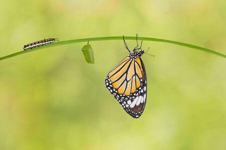 Transformatie van gewone tijgervlinder (Danaus-genutia) van rups en pop die aan takje hangen