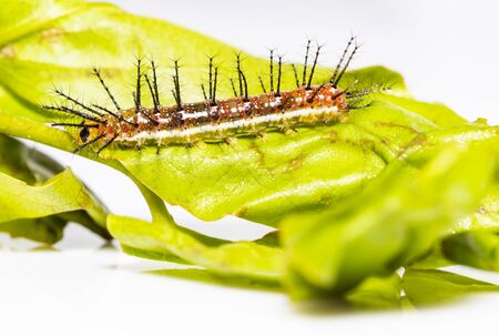 Caterpillar of Rustic butterfly (cupha erymanthis)  resting on grean host plant leaf