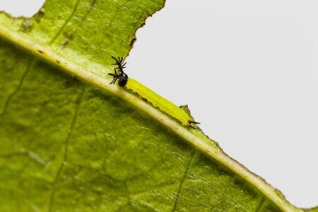 Close up 2nd stage of caterpillar of siamese black prince butterfly ( Rohana parisatis ) resting on leaf Reklamní fotografie