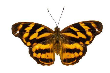 Isolated common pasha butterly ( Herona marathus ) in dorsal view on white