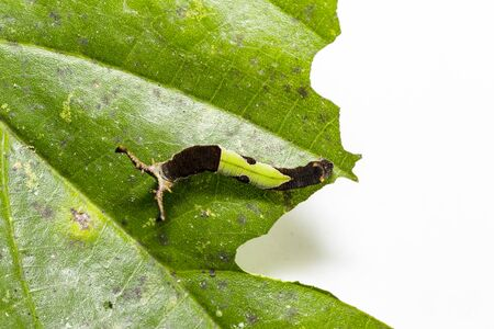 Caterpillar of popinjay butterfly ( Stibochiona nicea ) resting on theirs host plant leaf