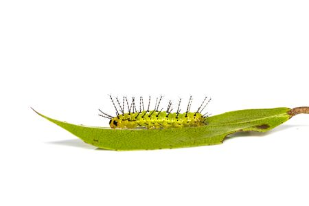 Mature caterpillar of Rustic butterfly (cupha erymanthis) on host plant leaf and white background