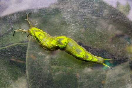 Close up top view and legs of  caterpillar of common pasha butterly ( Herona marathus )  with web under clear plastic