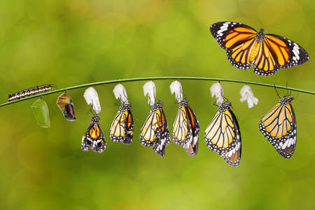 Transformation of common tiger butterfly ( Danaus genutia ) nd pupa hanging on twig , growth, chnage,