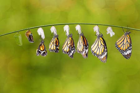Transformation of common tiger butterfly ( Danaus genutia ) nd pupa hanging on twig , growth, chnage, Zdjęcie Seryjne