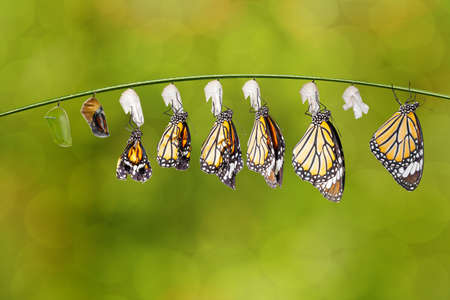 Transformation of common tiger butterfly ( Danaus genutia ) nd pupa hanging on twig , growth, chnage, Imagens