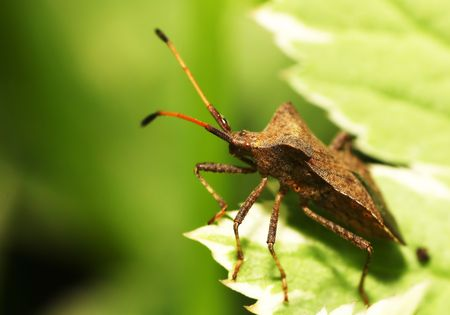 Shieldbug on a leaf photo