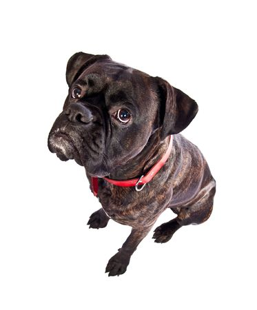 Cute brindle boxer dog in studio with red collar Stock Photo - 6721483