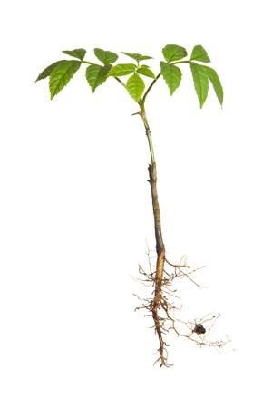 raices de plantas: Planta joven aislado con ra�ces  Foto de archivo