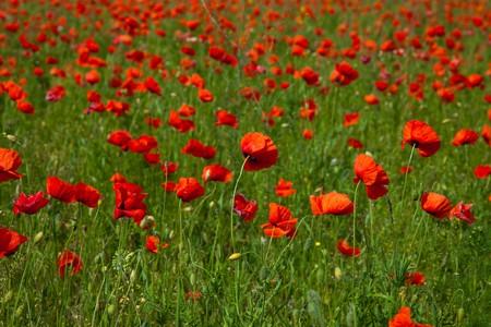 Poppy field meadow with wind turbine photo