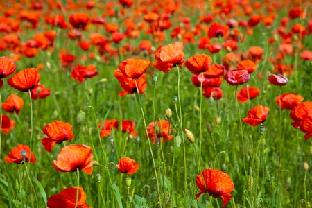 Poppy field meadow with wind turbine Stock Photo - 7267207