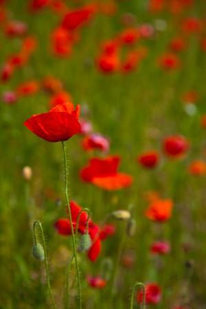 Poppy field meadow with wind turbine Stock Photo - 7267134