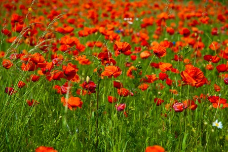 Poppy field meadow with wind turbine Stock Photo - 7267253