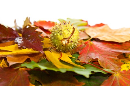 Composition of autumn chestnuts and leaves on isolated background Stock Photo - 7779844