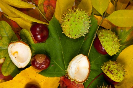 Composition of autumn chestnuts and leaves on isolated background Stock Photo - 7779908