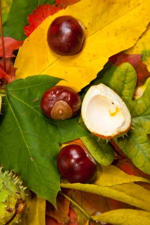 Composition of autumn chestnuts and leaves on isolated background Stock Photo - 7779889