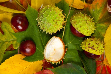 Composition of autumn chestnuts and leaves on isolated background Stock Photo - 7779905