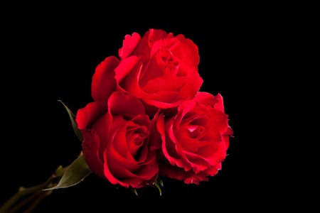 Red roses on black isolated background Stock Photo - 8582186